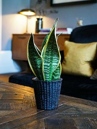 Murcia Planter With Snake Plant